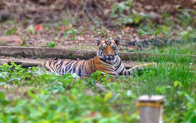 Tadoba Diaries - First Encounter